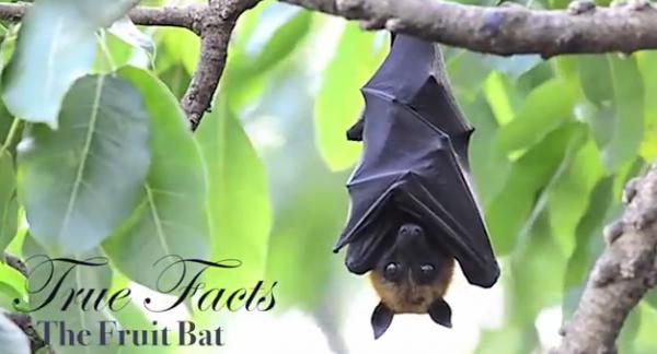 true facts fruit bat