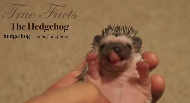 true facts hedgehog