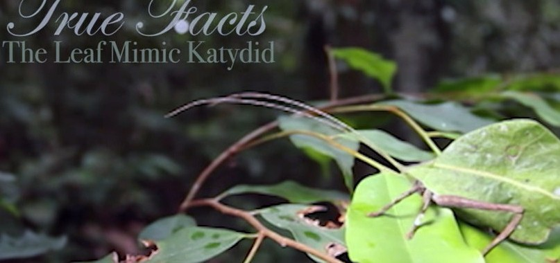 true facts katydid
