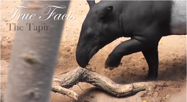 true facts tapir
