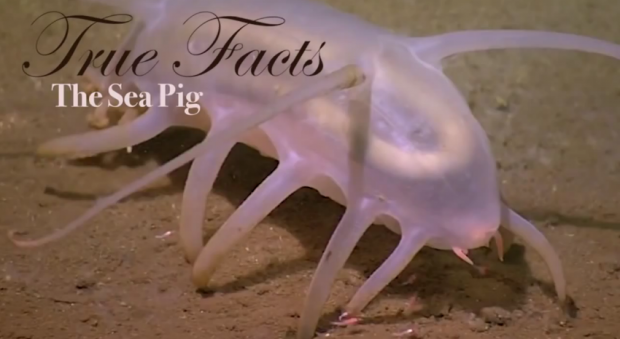 true facts sea pig