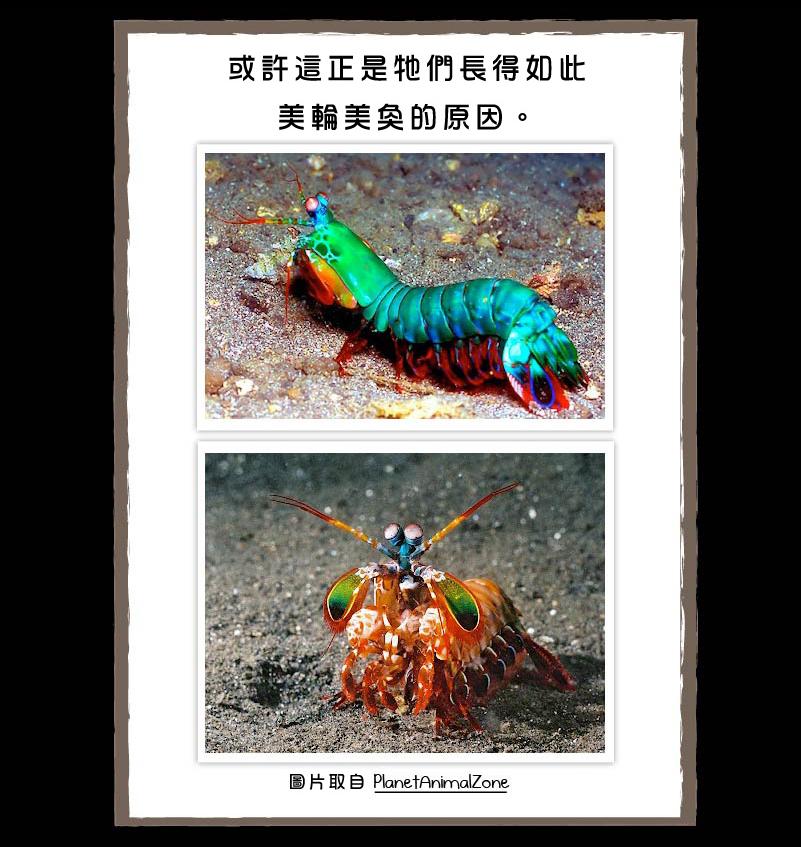 螳螂蝦-5