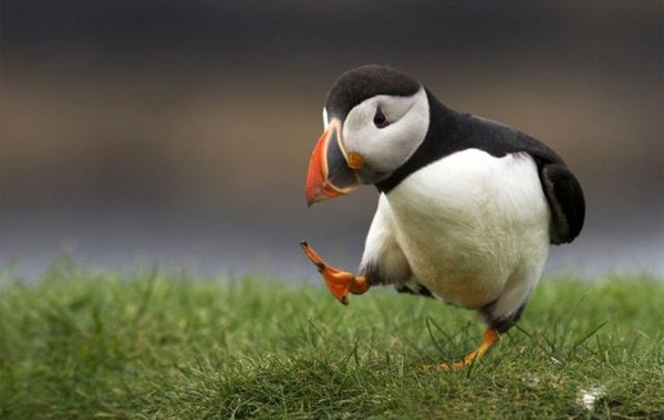 puffin-skip