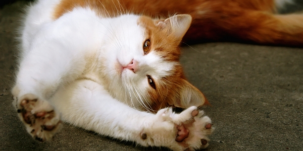 cat-stretching-shutterstock_61984297
