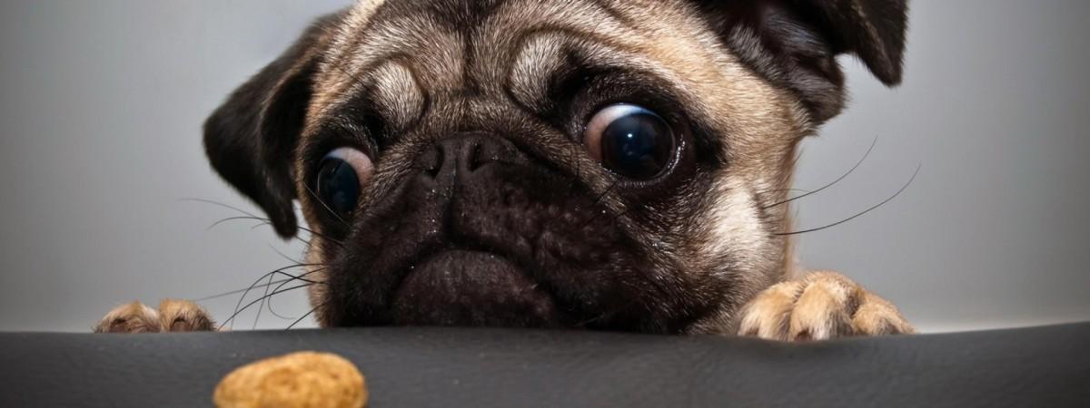 funny_pug_dog-1920x1200